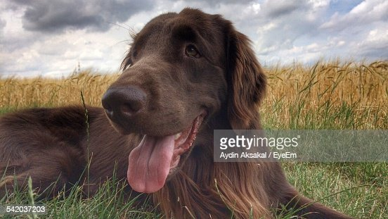 Flat-Coated Retriever Sticking Out Tongue On Field