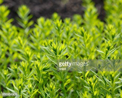 Flax field : Stock Photo