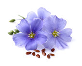 Flax flowers with seeds. On a white background.