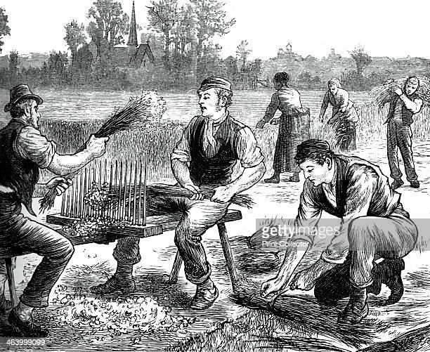 Flax rippling c1880 Agricultural workers processing flax A print from Great Industries of Great Britain Volume I published by Cassell Petter and...