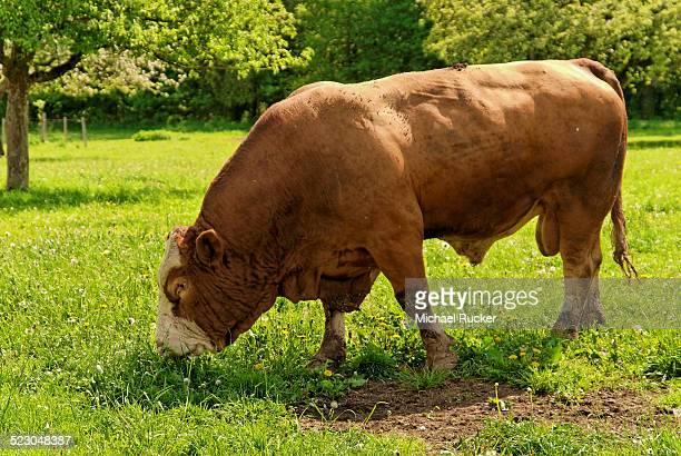 Fleckvieh cattle, bull on a lush meadow
