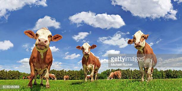 Fleckvieh cattle, dairy cows in a lush meadow, clouds, upward view