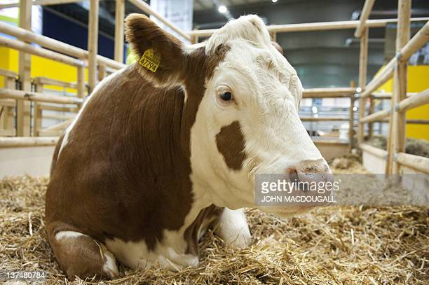 A Fleckvieh Simmental cow sits in her enclosure at the socalled Green Week Agriculture and food Fair in Berlin on January 21 2012 Romania is this...