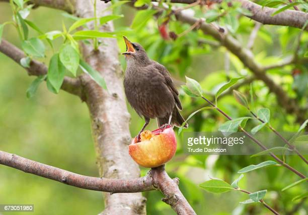 Fledgling Starling and Apple
