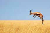 Fleeing springbock in the Etosha Nationalpark in Namibia