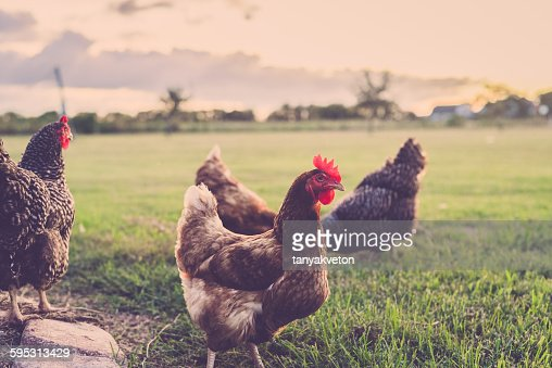 Fleetwood Ranch Chickens