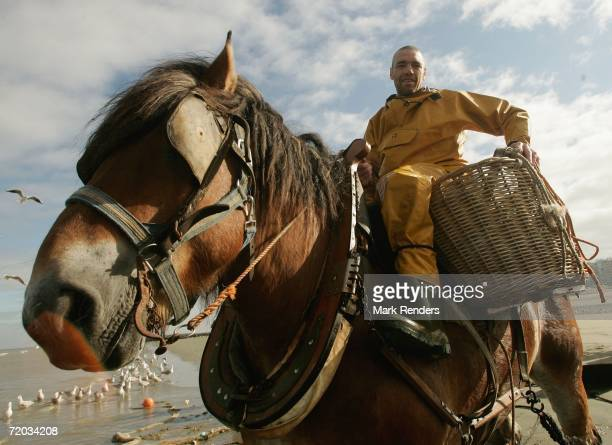 Flemisch fisherman on horseback catches shrimps on Oostduinkerke beach on September 28 2006 in Oostduinkerke Belgium There are only about five of...