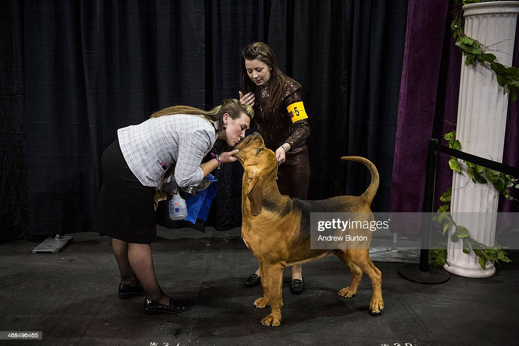Flessner's International S'cess, a bloodhound, wins best of the Hounds division, during the Westminster Dog Show on February 10, 2014 in New York City. The annual dog show showcases the best dogs from around world for the next two days in New York.