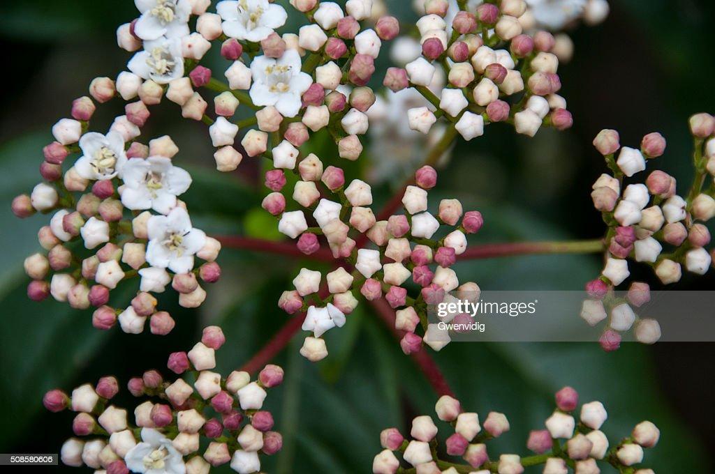 fleurs et boutons de lauriertin : Stockfoto