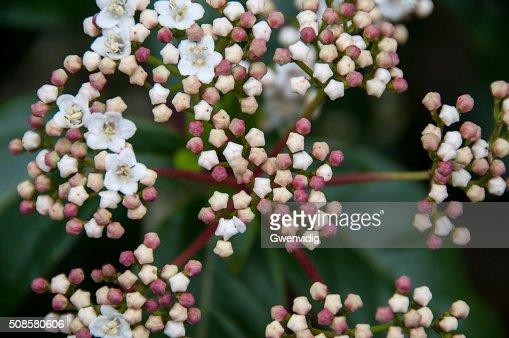 fleurs et boutons de lauriertin : Stock Photo