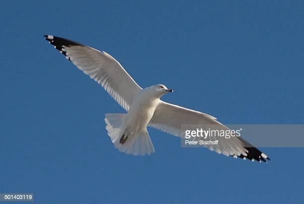 Fliegende Möwe Puerto Penasco Sonora Mexico Mittelamerika Vogel Tier Reise BB DIG PNr 181/2011
