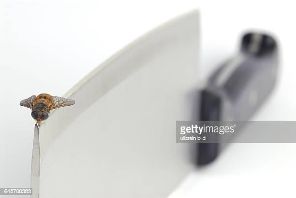 Fliegen‰hnliches Insekt sitzt auf der Spitze eines Hackmessers Tier Tiere Insekt Insekten Fliege Fliegen Messer Hackmesser Klinge Messerklinge Spitze...