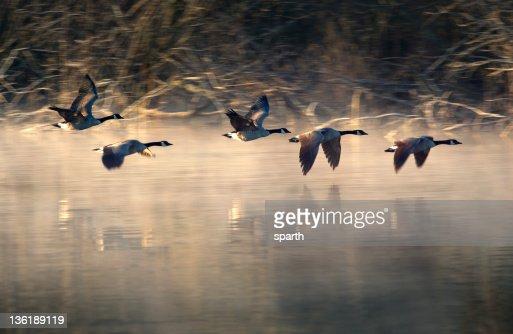 Flight of geese in Marymoor Park, WA.