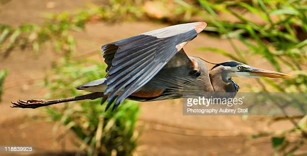 Flight of Great Blue Heron