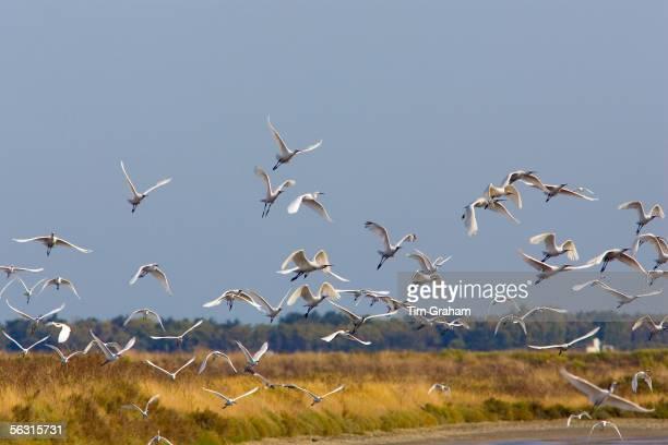 Flight of Spoonbills Ars en Re Ile de Re France