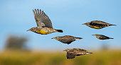 Flying Meadowlarks