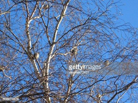 Flight of winter birds Bohemian Waxwing : Stock Photo