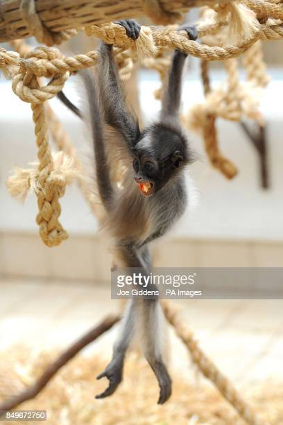 Flo a variegated spider monkey at Twycross Zoo Atherstone Warwickshire