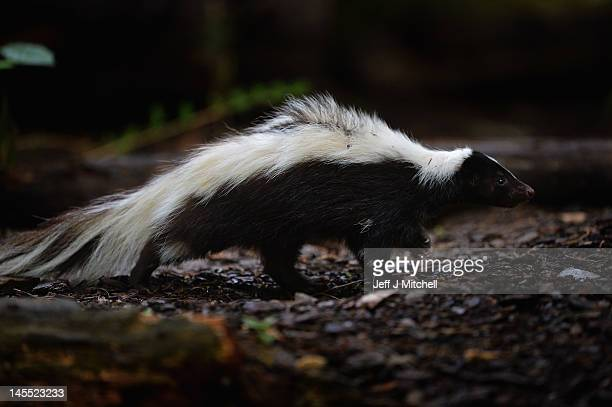Flo the skunk arrives at Edinburgh Zoo from Amneville Zoo in France on June 1 2012 in Edinburgh Scotland Flo has joined a six year old male skunk...