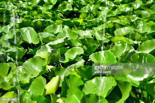 Floating Aquatic Surface Covering Plant