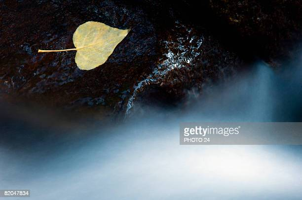 Floating aspen leaf