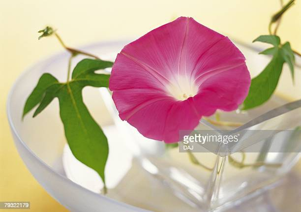Floating Morning Glory in Vase, High Angle View, Close Up, Differential Focus, In Focus, Out Focus