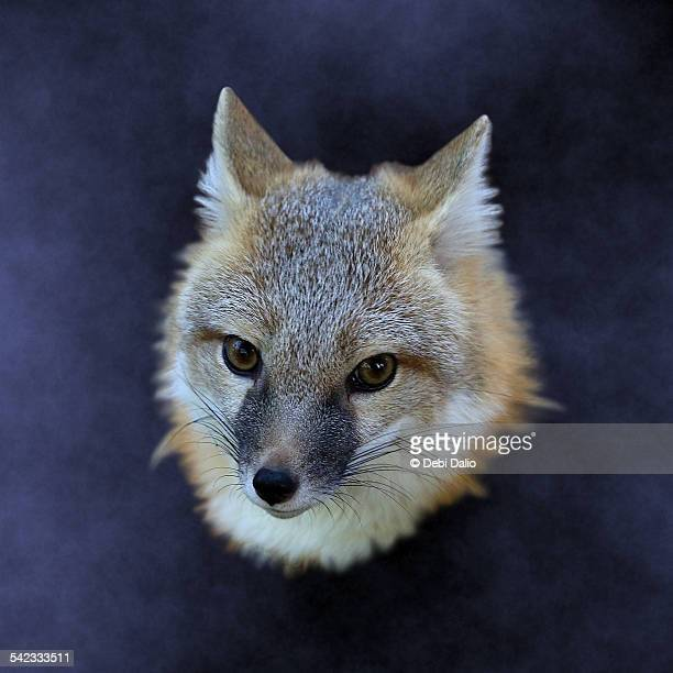Floating swift fox head