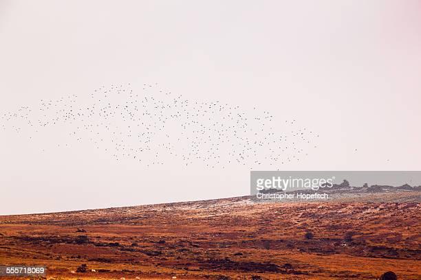 Flock of birds above moorland