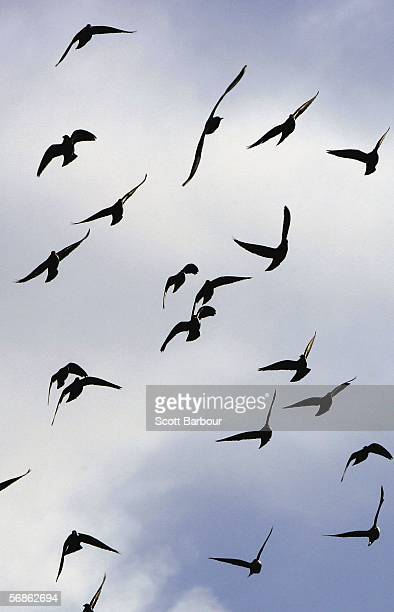 A flock of birds fly over a park on February 16 2006 in London England The threat of Bird Flu is moving closer to Britain after Germany confirmed...