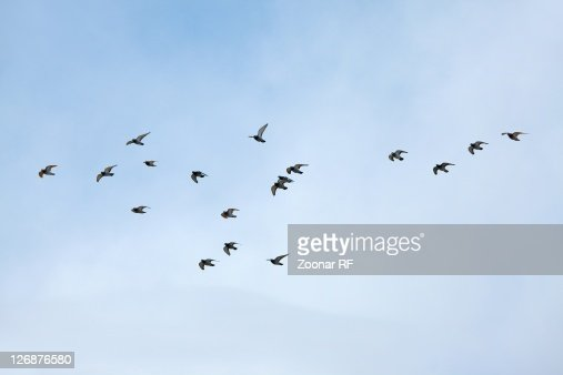 Flock of birds flying in the sky : Stock Photo