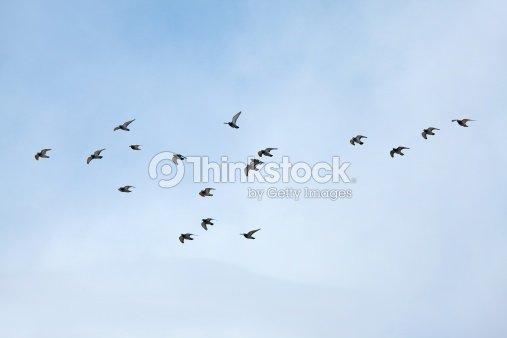 Flock of birds flying in the sky : Stock Photo