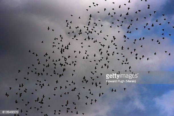 Flock of Birds. In Flight.