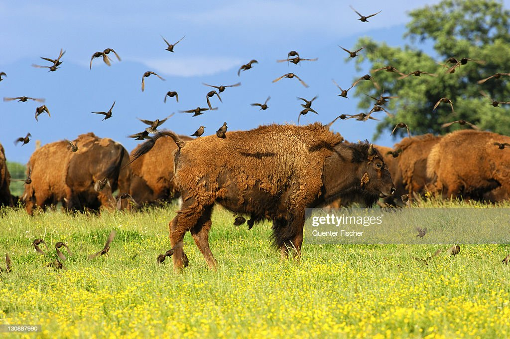 A flock of birds settling on an American Bison (Bison bison), in search of vermin in winter coat : Stock Photo