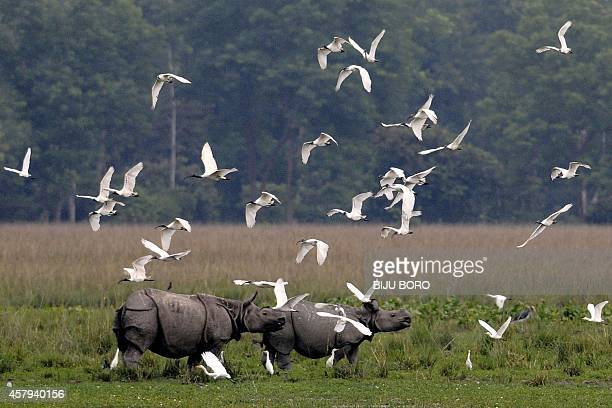 A flock of blackheaded ibis fly past a pair of onehorned rhinos at the Pobitora Wildlife Sanctuary some 45km from Guwahati the capital city of...