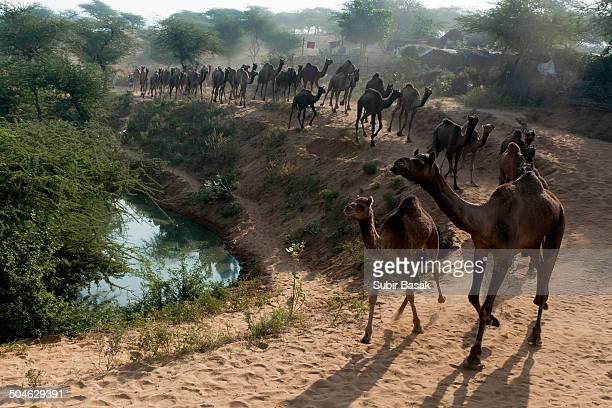 Flock of camels in Pushkar, Rajastan, India.