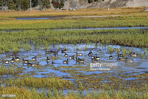 A flock of Canada geese feed on aquatic plants along the Yellowstone River in Yellowstone National Park in Wyoming
