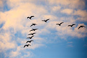 Eleven Canada Geese flying overhead with blue sky and white clouds in a v formation during the migration.