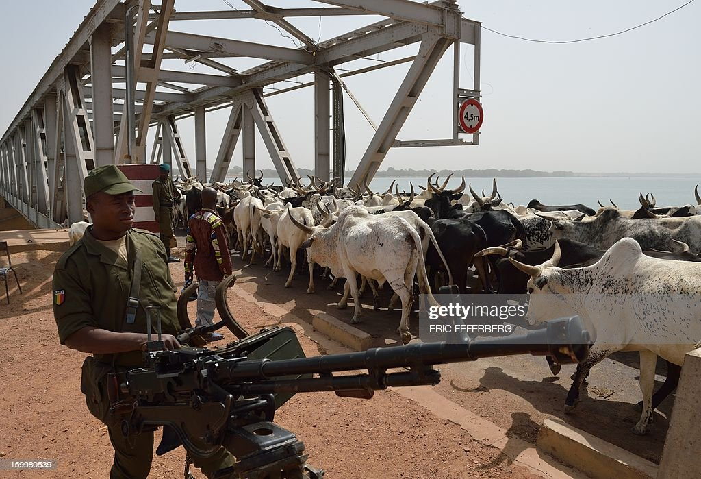 A flock of cows passes by a Malian soldier guarding with a machine gun the entrance of the strategic bridge of Merkala upon the Niger river on January 24, 2013 .