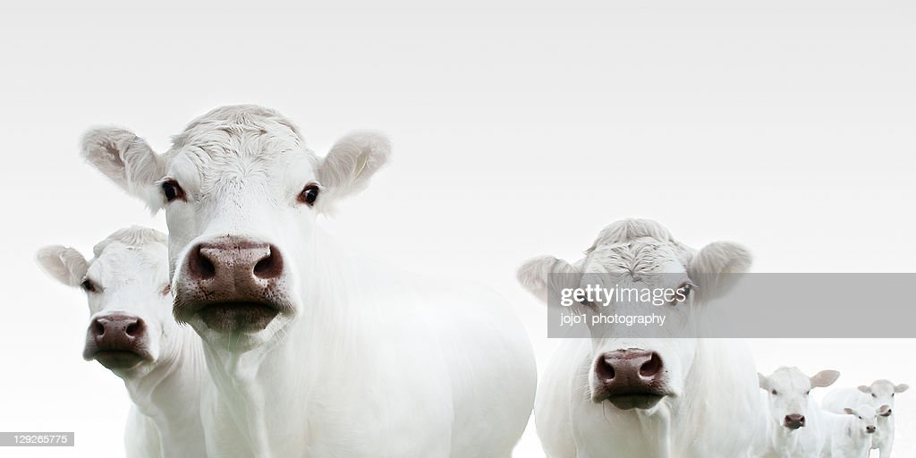 Flock of cows : Stock Photo