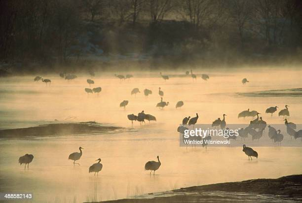 Flock of cranes on misty frozen lake, winter