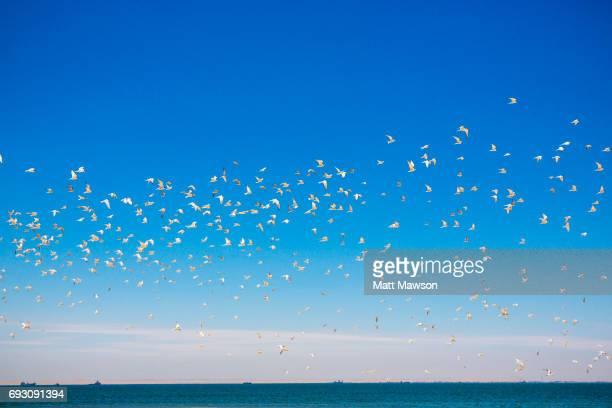Flock of Damara Terns on the Skeleton coast, Namibia, Africa