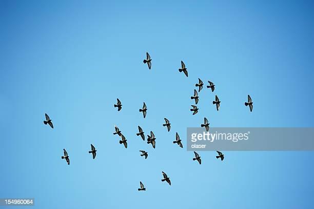 Flock of doves vor blauem Himmel