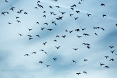 Flock of doves (Columbidae) flying in front of cloudy sky