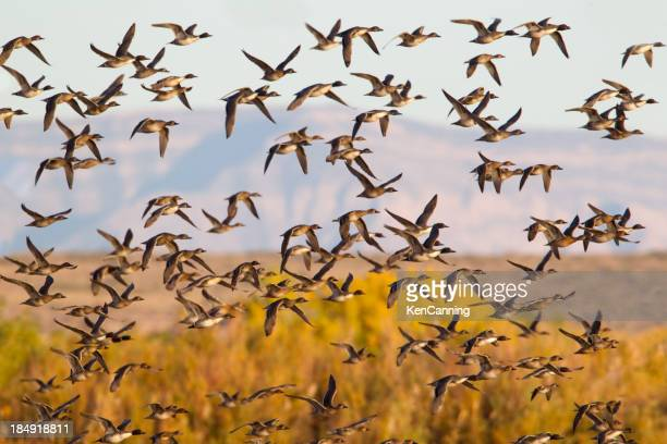 Troupeau de canards volants