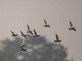 Flock of Ducks Flying