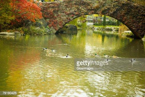 Flock of ducks swimming in water, Central Park, Manhattan, New York City, New York State, USA : Foto de stock