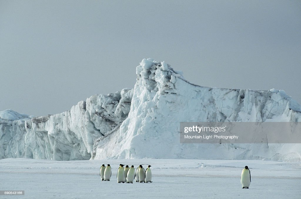 Flock of Emperor Penguins in Antarctic Landscape