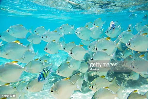 Flock of fish