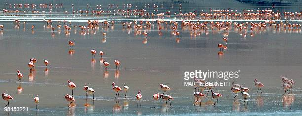 A flock of flamingos are seen wading in Laguna Colorada located within the Eduardo Abaroa Andean National Fauna Reserve in the highlands of San Luis...