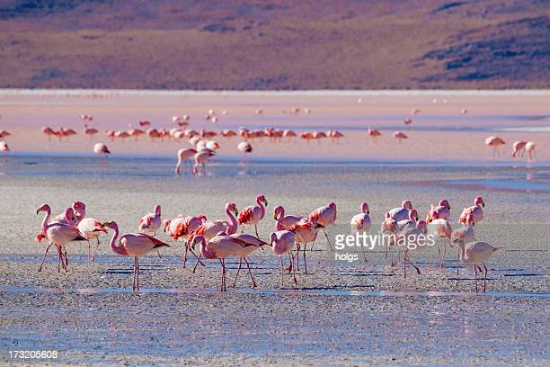 Flock of flamingos at salt flats in Bolivia